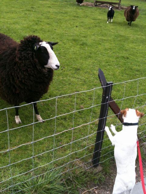 Bas en een schaap