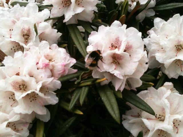 Hommel op een bloem