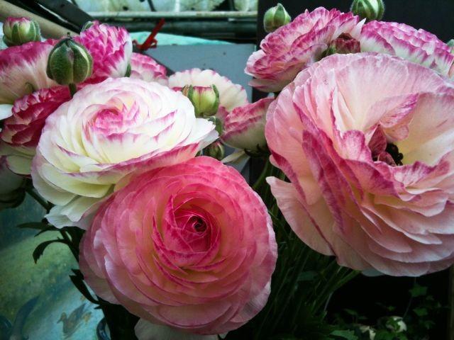Roze rankonkel
