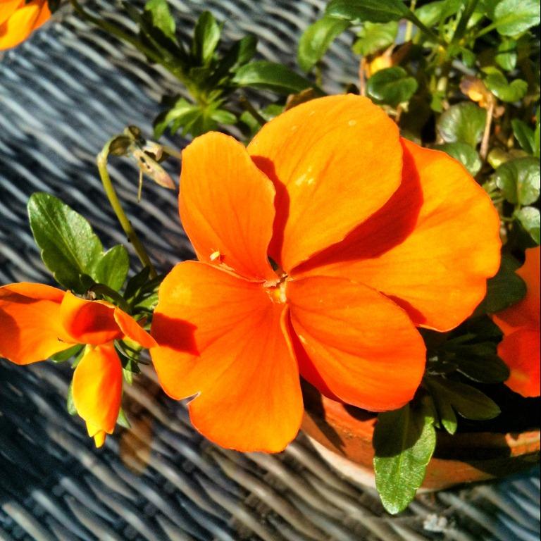 Oranje viooltjes