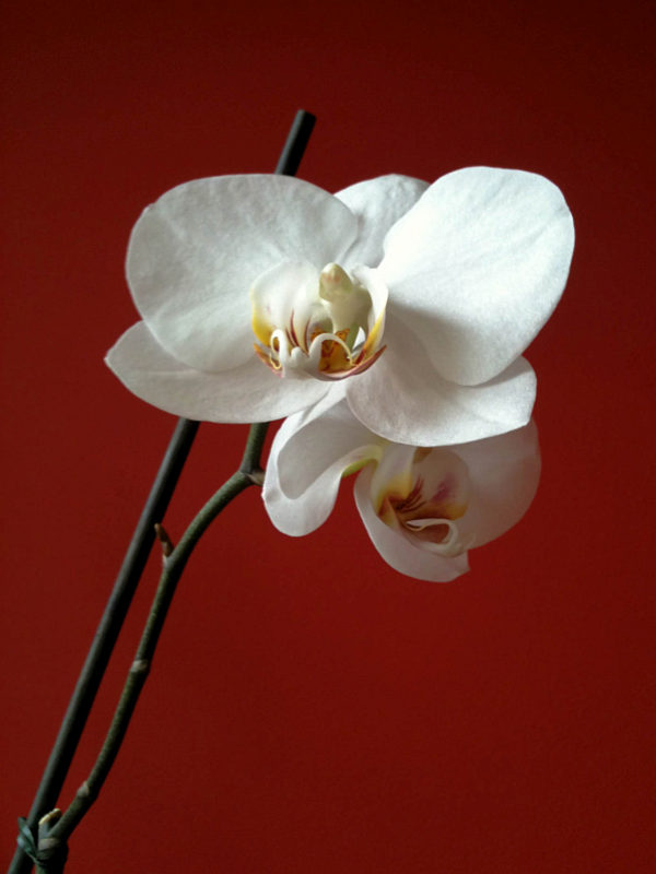 Witte Orchidee