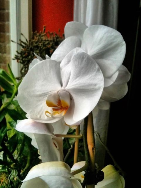 Orchidee van m'n moeder