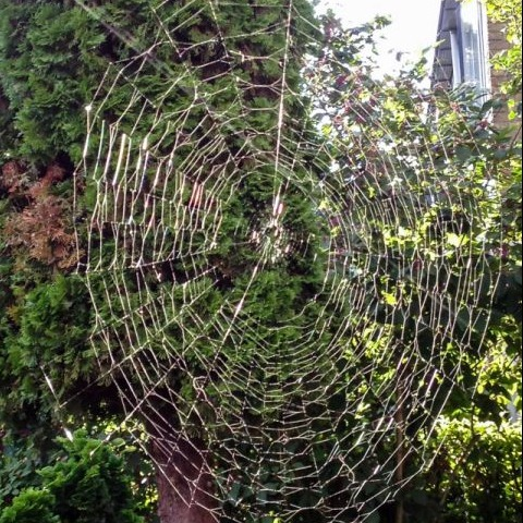 Groot spinneweb