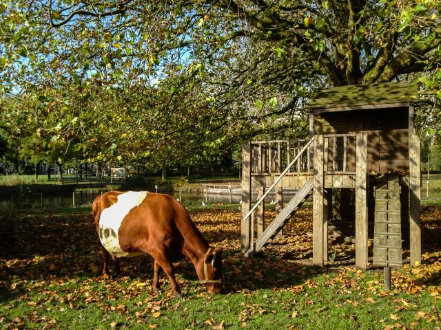 Koe op de Kinderboerderij