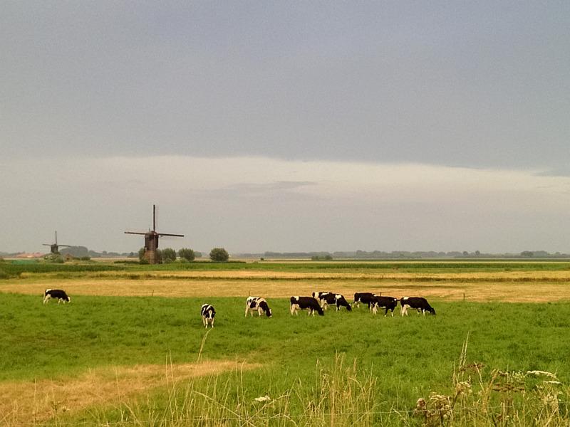 Koeien en een molen