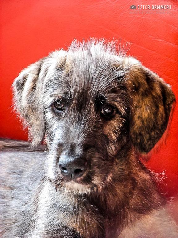Ierse Wolfshond pup (8-10-2007)