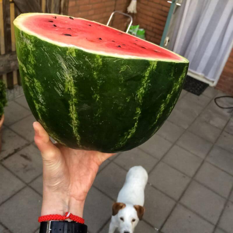 Enorme watermeloen
