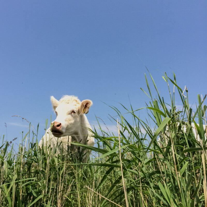 Witte koe in het gras