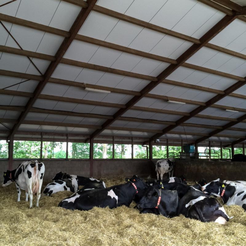 Zwangere koeien