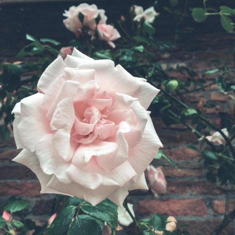 Roze roos bij oma