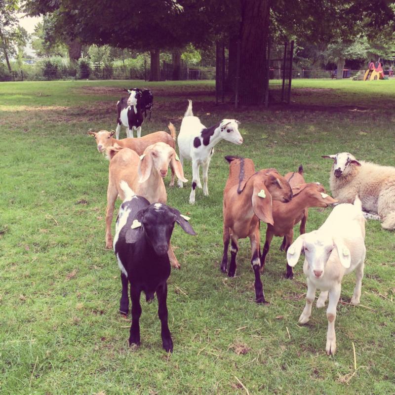 Nieuwsgierige geiten