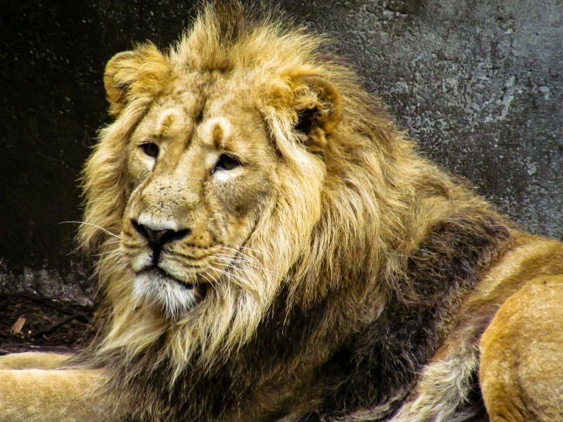 Leeuw in Blijdorp (3-8-2011)