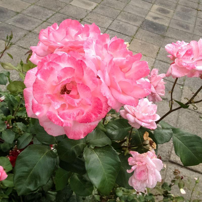 Mooie rozen