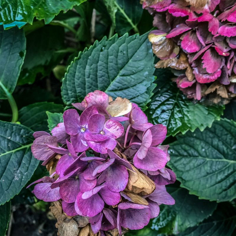 Kleurige Hortensia