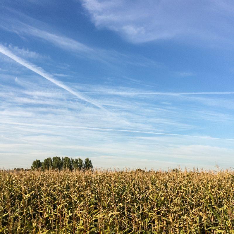 Maisvelden in Oudendijk
