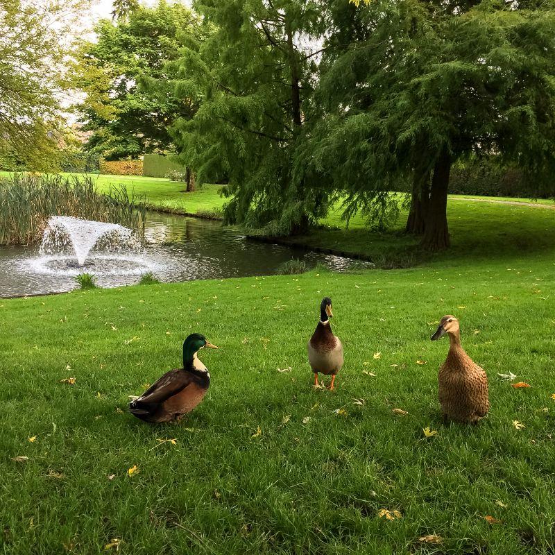 Eendjes in het park