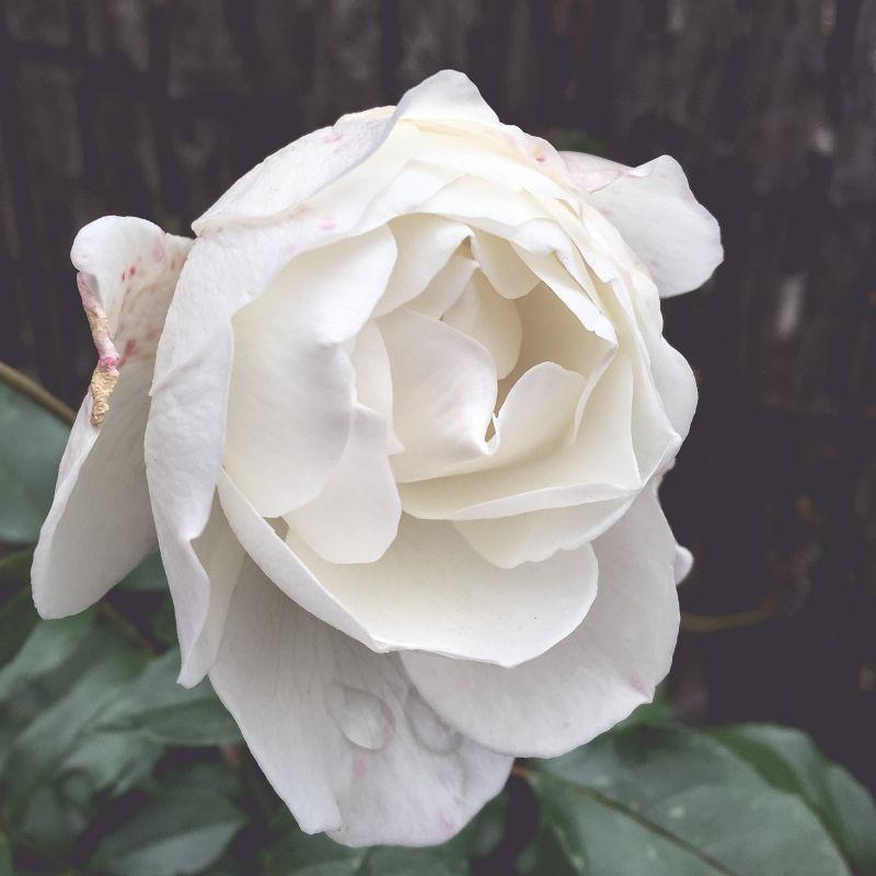 Mijn witte roos in bloei