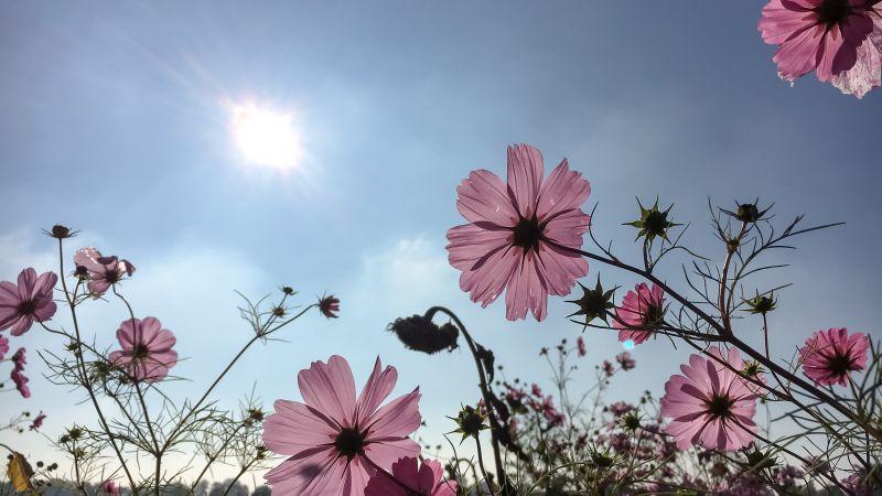 Roze Cosmea