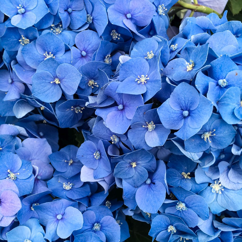 Felblauwe bloemen bij Ranzijn