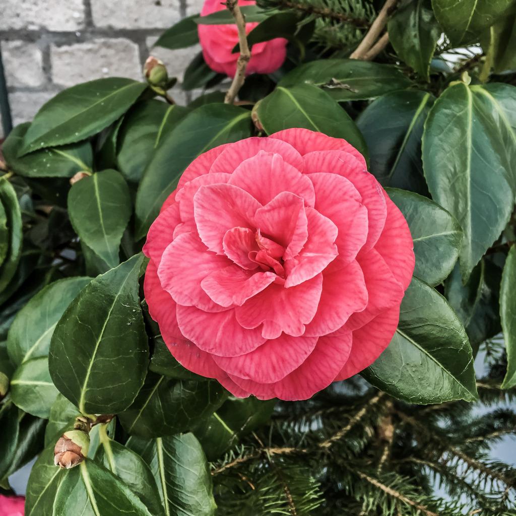 Mooie roze Camelia
