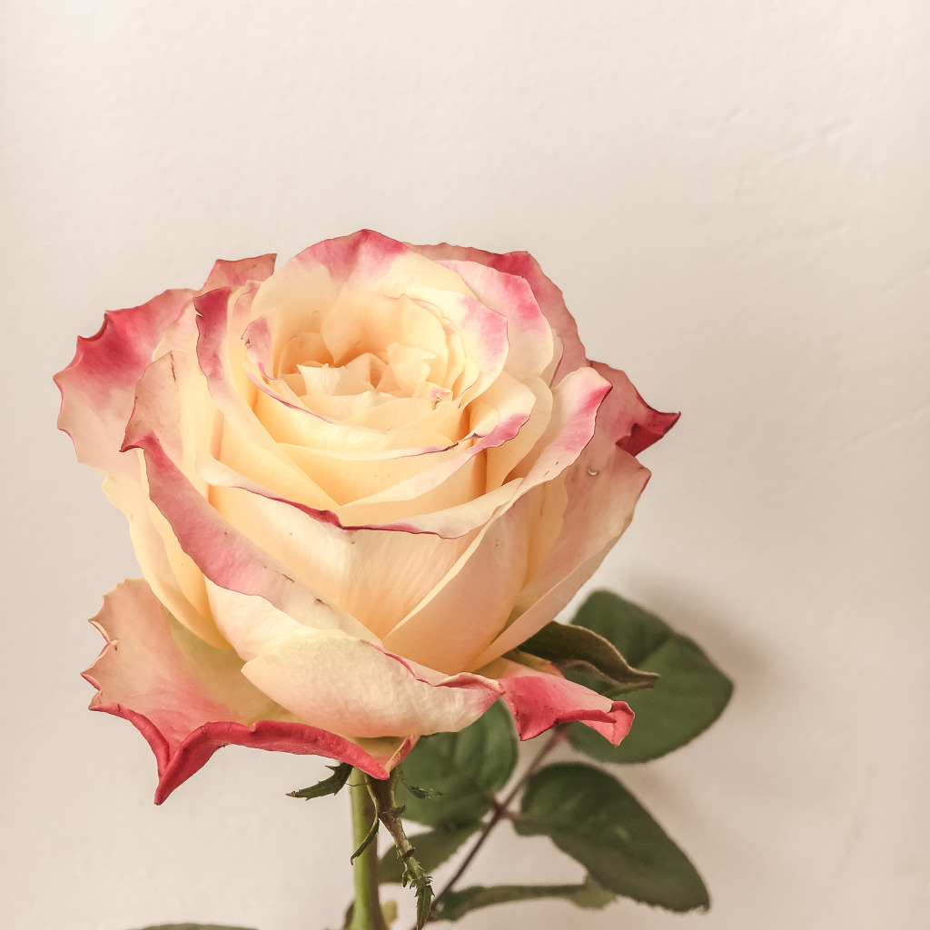 Een mooie roos
