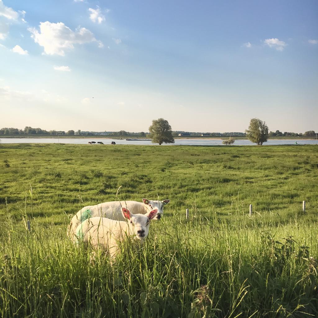 Lammetjes in het gras