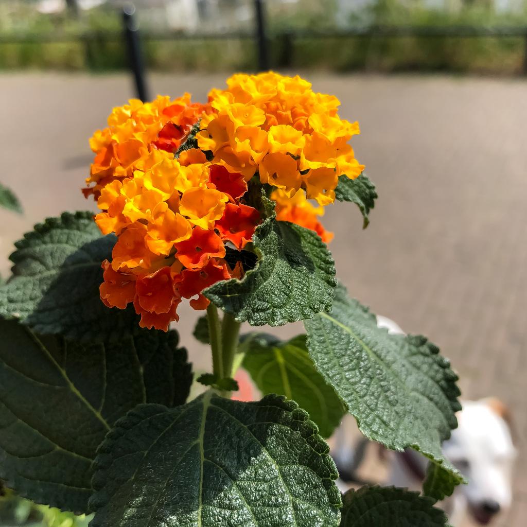Oranje Lantana