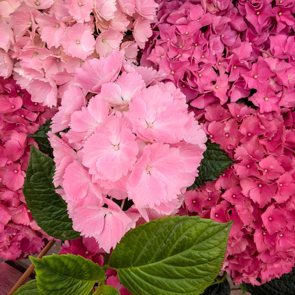 Roze Hortensia