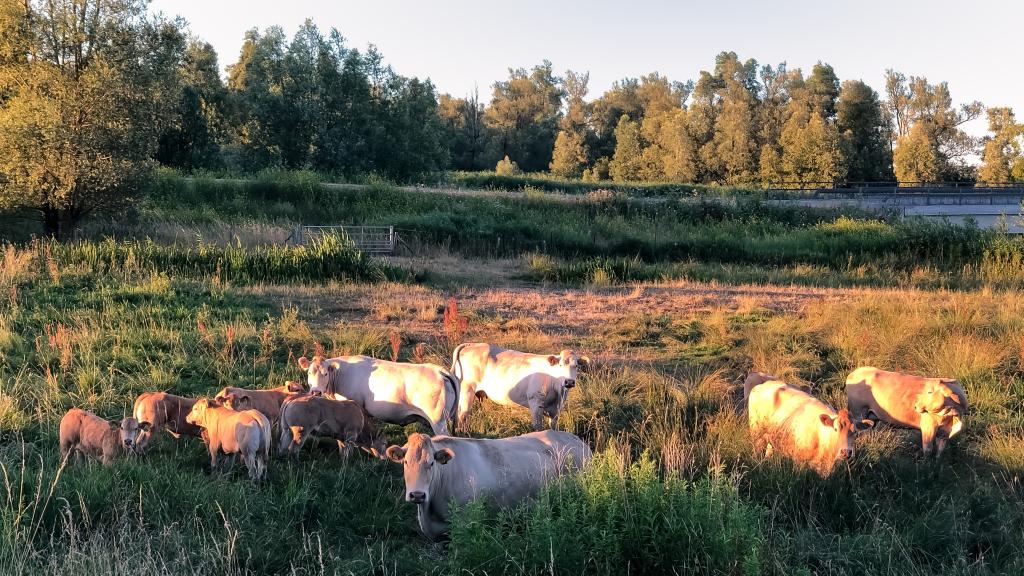 Witte koeien in de Biesbosch