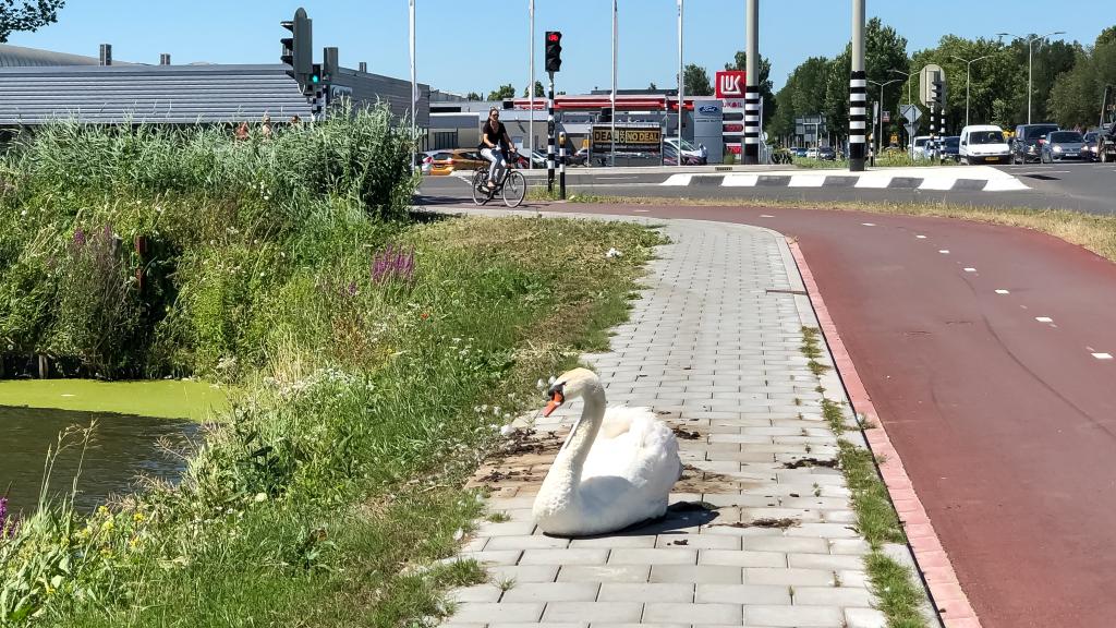 Zwaan op straat
