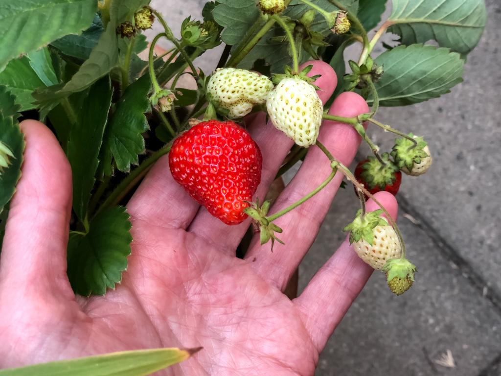 Zelf gekweekte aardbeien!