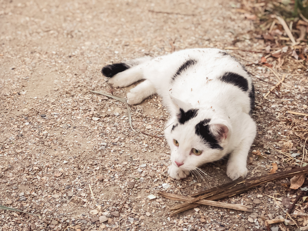 Mooie witte kat