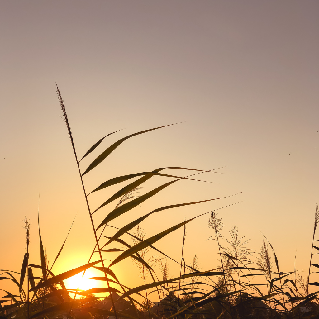 Grashalmen bij zonsopgang