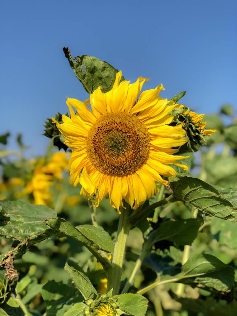 Grote zonnebloem