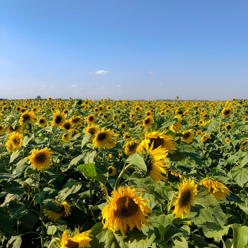 Een veld vol zonnebloemen
