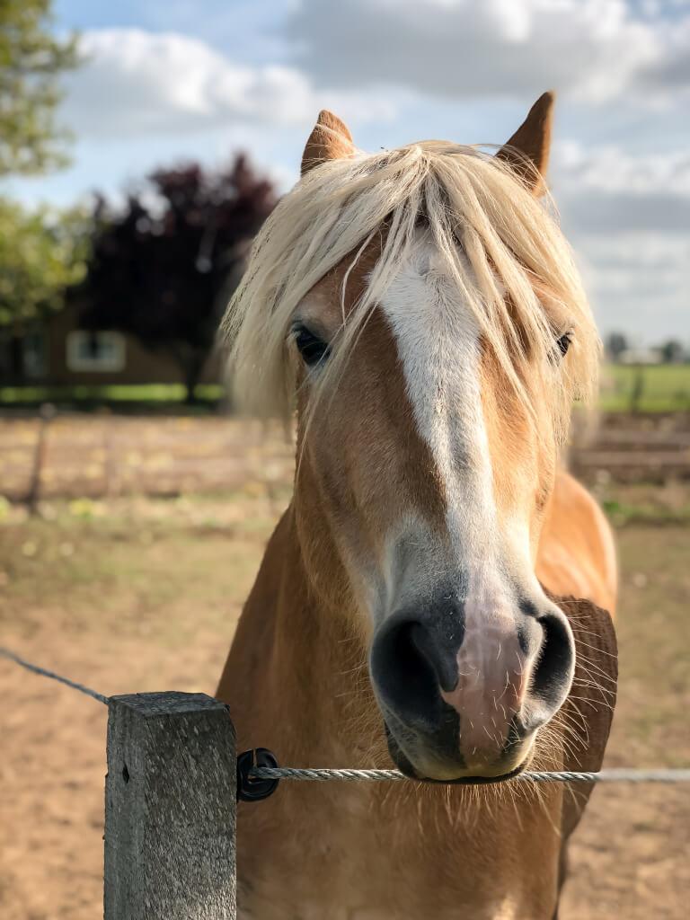 Paardje in Zuilichem