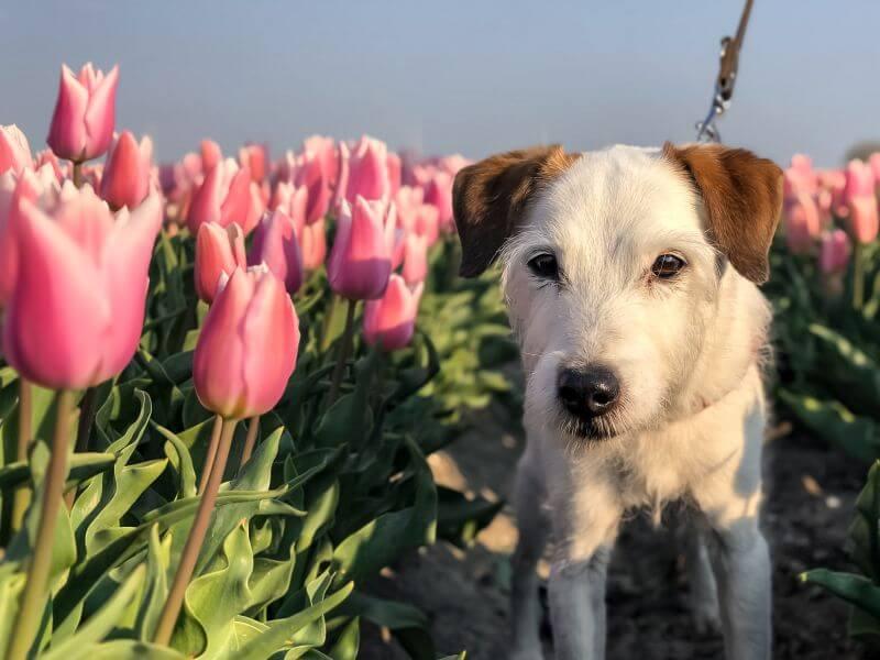 Bas tussen de tulpen