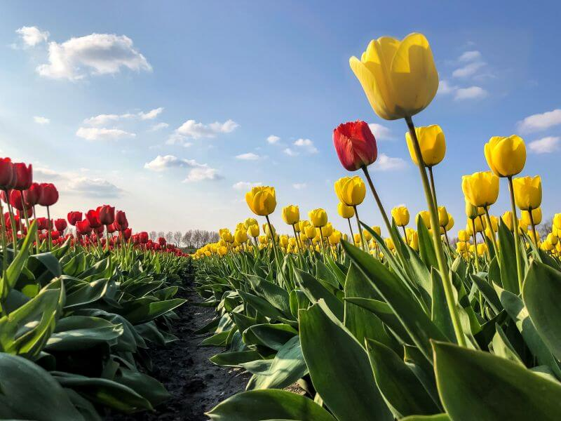 Tulpenveld in Abbenes