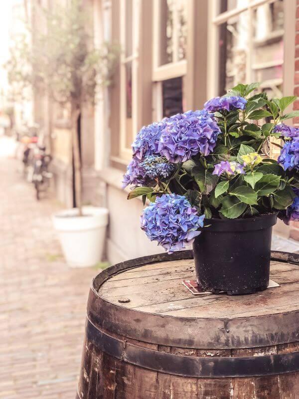 Hortensia in Dordrecht