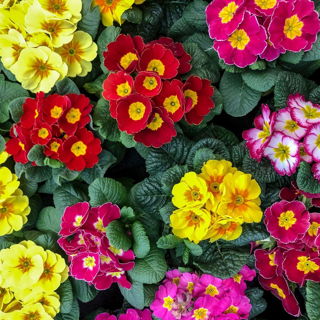 Vrolijk gekleurde Primula's