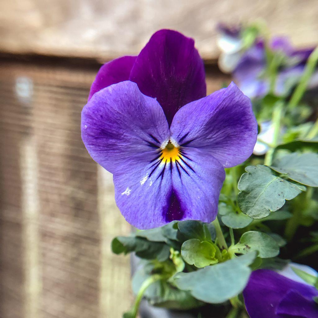 Blauwpaarse viooltjes
