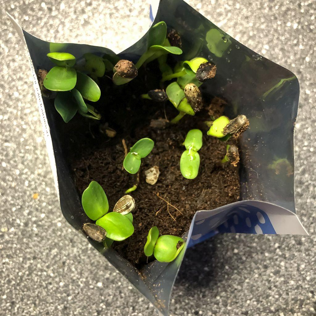 Zonnebloemplantjes