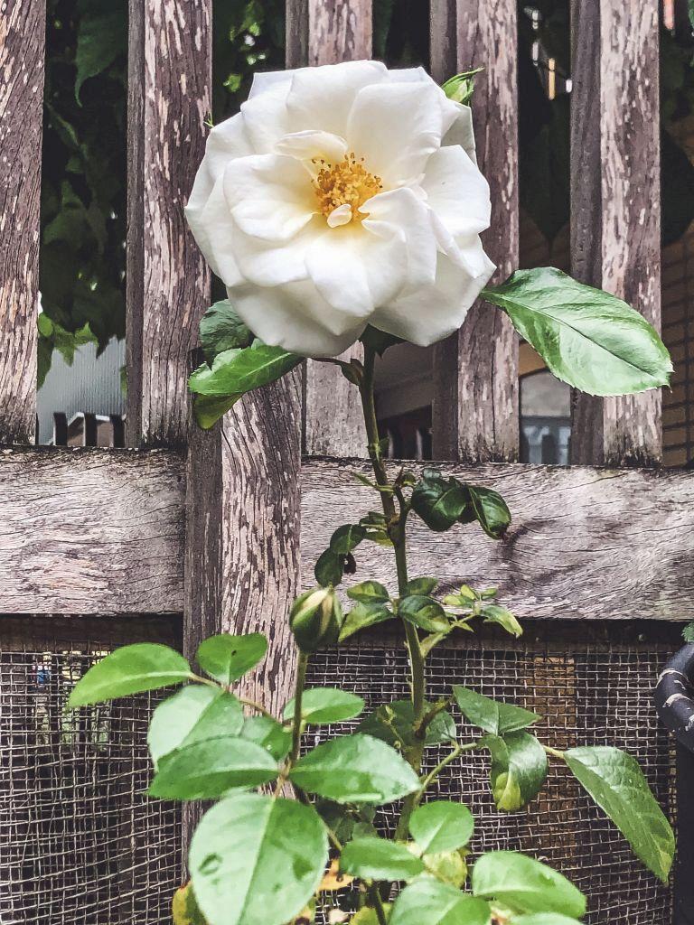 Witte roos in de tuin