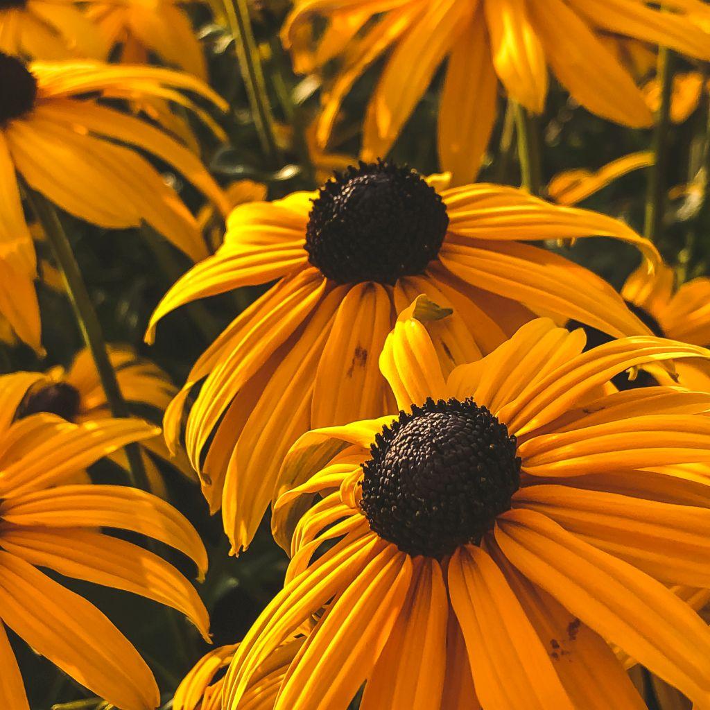 Mooie gele bloemen (Zonnehoed)
