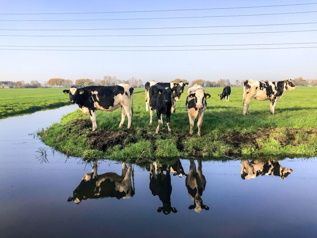 Koeien en reflecties