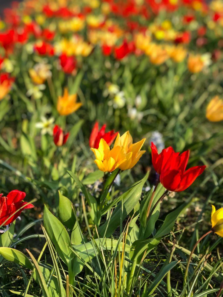 Tulpen in vrolijke kleuren