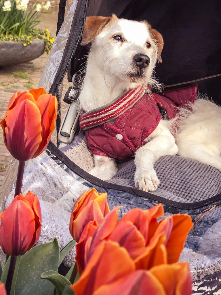 Bas en tulpen