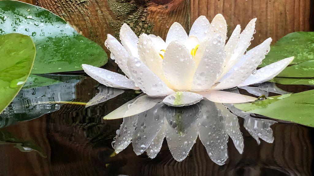 De waterlelie bloeit weer!