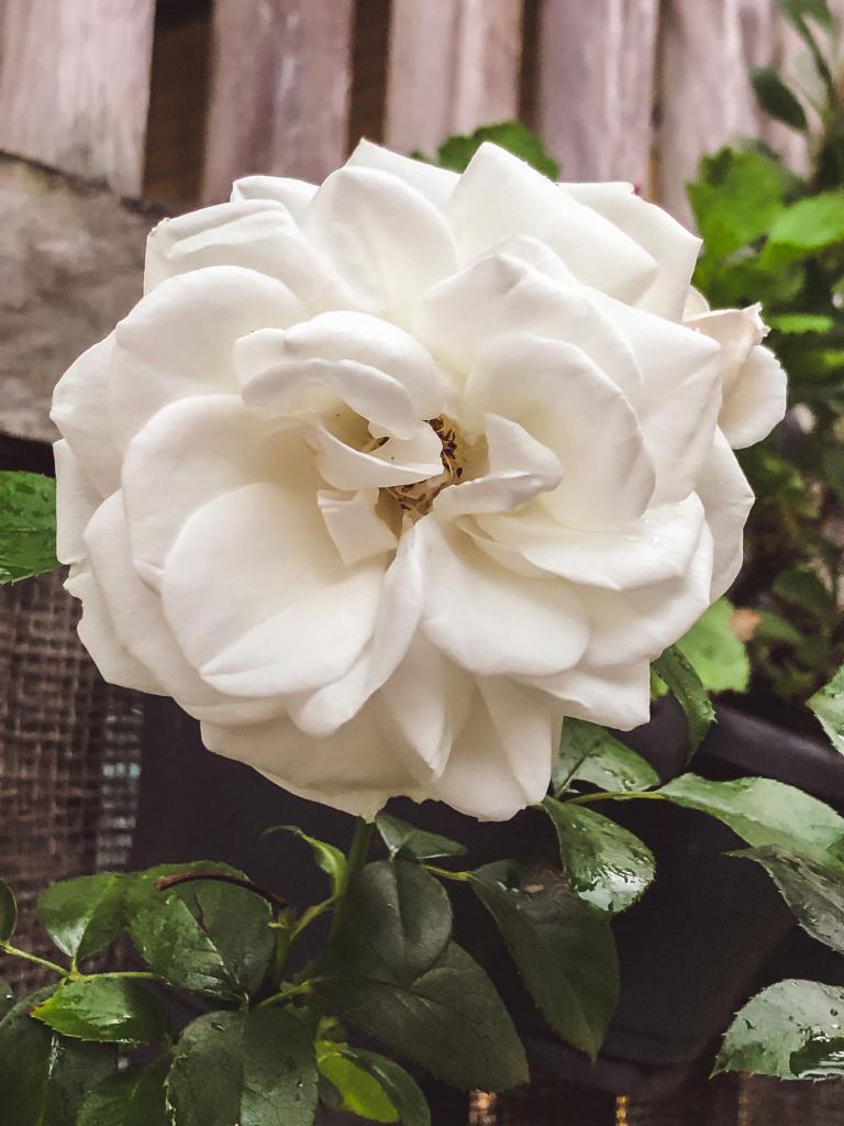 Roos alweer in bloei